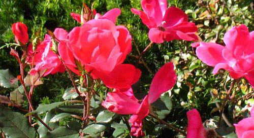 Rosa RadRazz rose